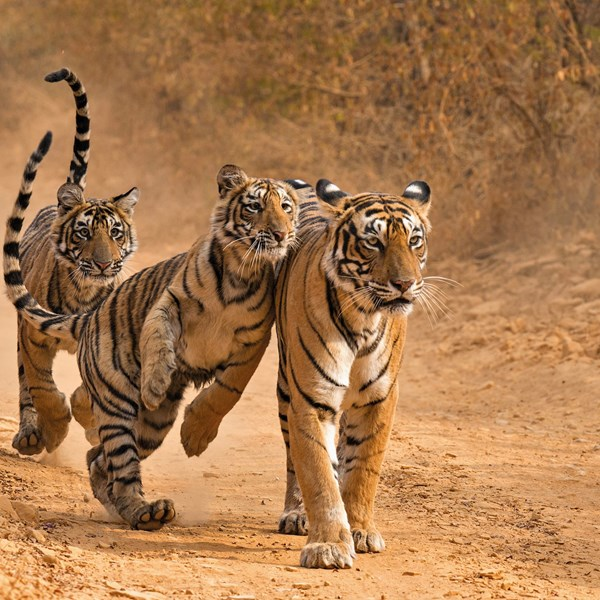 Essence of India with Ranthambore Luxury Tour